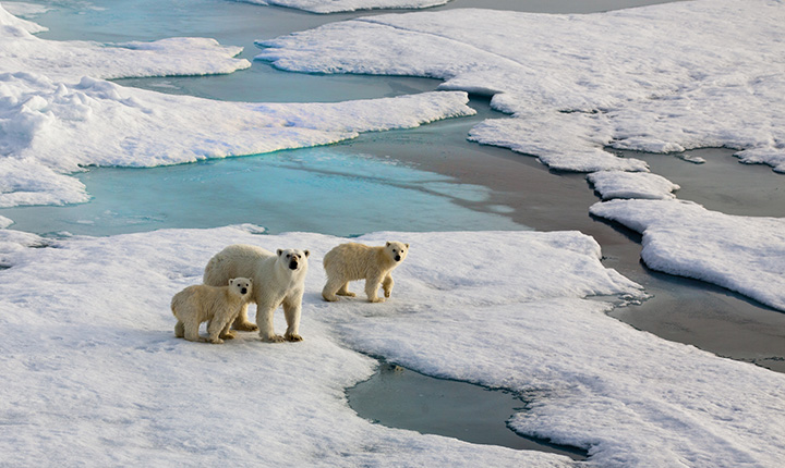 Adult Polar Bear and 2 cubs on an ice flow