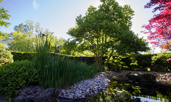 Japanese garden with purple iris and trees surrounding a pond