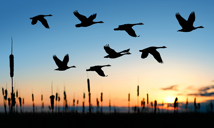 Silhouetted Canada geese flying in front of a sunset
