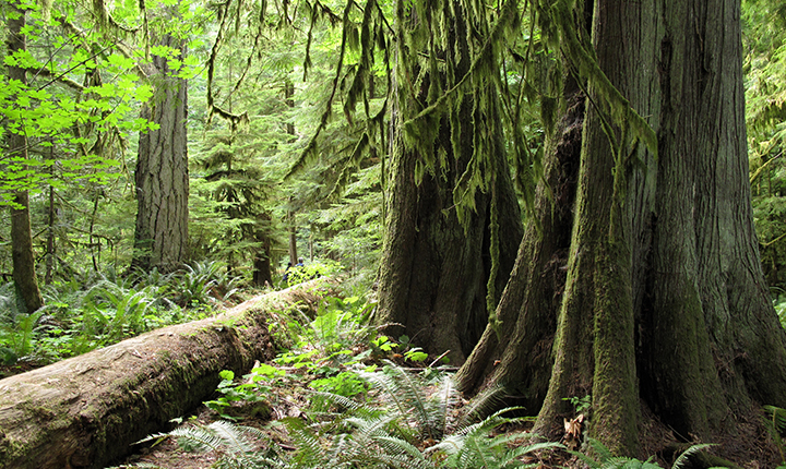 Large redwoods in forest with ferns and lichen